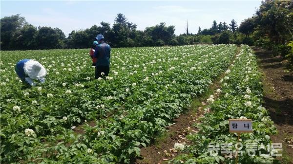 ▲제주도에서 자라고 있는 탐나 감자 품종 모습.